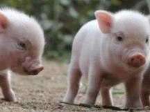 首个区块链生猪监管平台有望5月上线